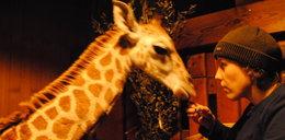 Opiekunowie śpią z żyrafą
