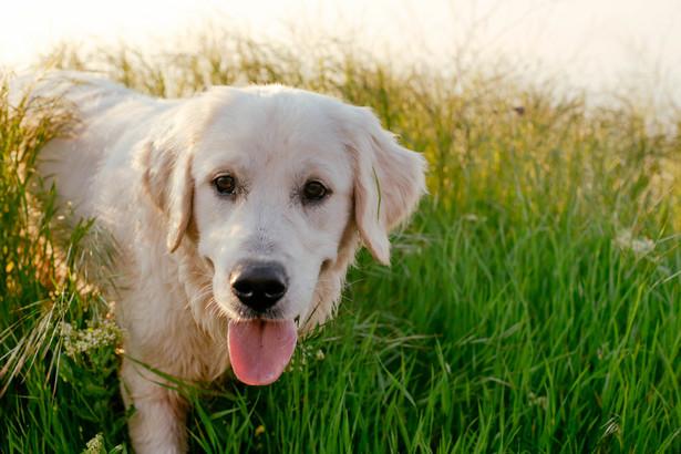 Psy zostały wytresowane tak, by siadać, kiedy poczują zapach kojarzony z koronawirusem