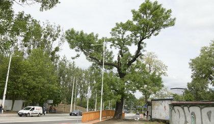 Zbudowali kładkę i uratowali drzewo