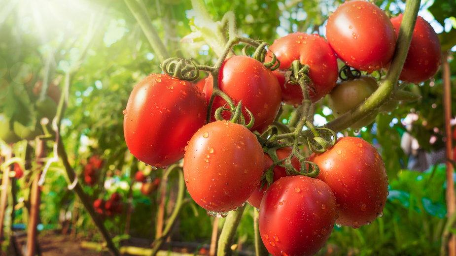 """Pomidory """"Gargamel"""" można uprawiać w szklarni i w gruncie - singkham/stock.adobe.com"""