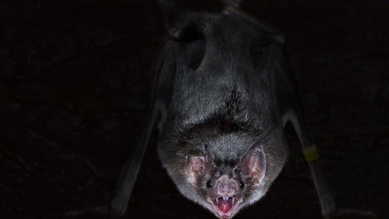 Brazylijskie wampiry wysysają ludzką krew