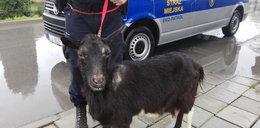 Koza błąkała się po mieście. Na pomoc przyszli strażnicy miejscy