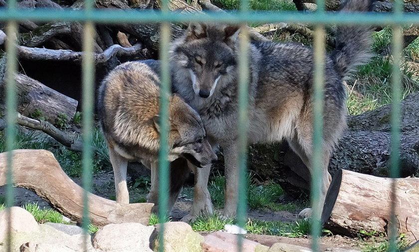 Wilki zamieszkają w poznańskim zoo