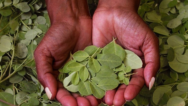 Moringa leaves(The Conversation)
