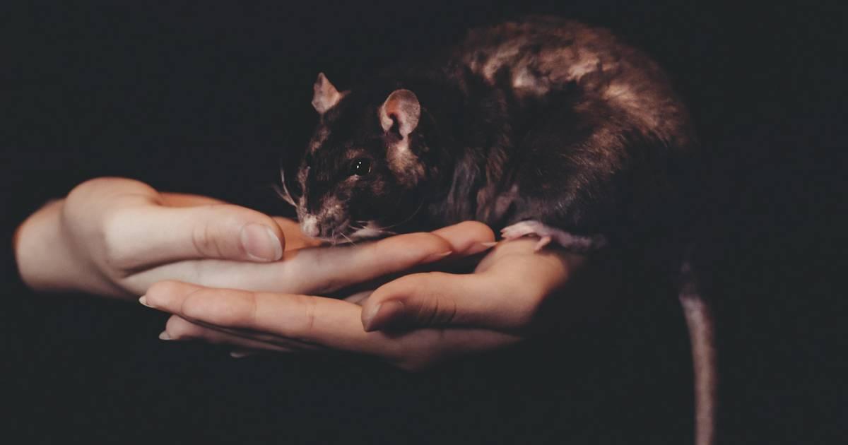 Diese Ratten sind kreativer, als du es je sein wirst – sie malen Bilder auf Miniatur-Leinwänden