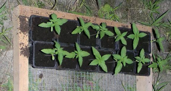 Pronađene biljke marihuane