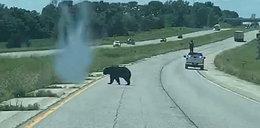 Niedźwiadek przeszedł 643 km w poszukiwaniu miłości