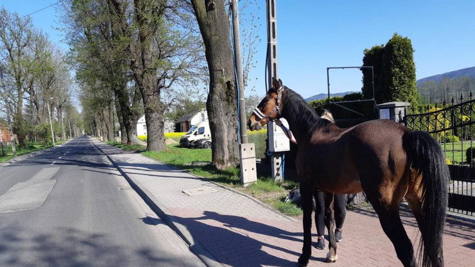 Koń na DK52 w Kętach