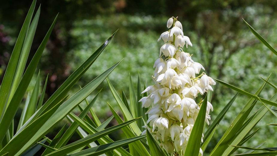 Juka wygląda bardzo efektownie podczas kwitnienia - wollertz/stock.adobe.com