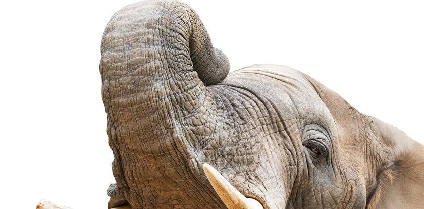 Słoń uderzył trąbą opiekuna. Tragiczny wypadek w zoo