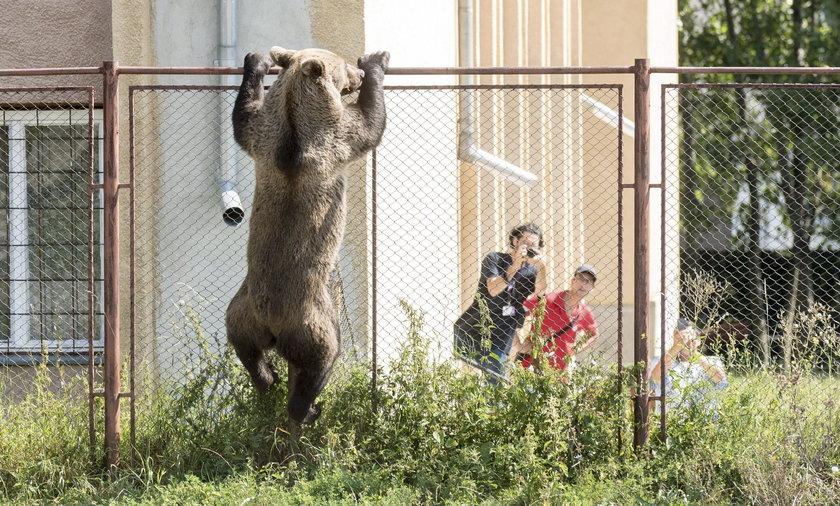 Niedźwiedź zagrażał mieszkańcom
