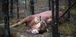 Policjant zastrzelił rozszalałego byka!