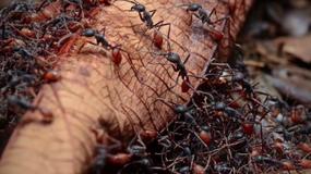 Kolumbijczycy będą zajadać się dziś smażonymi mrówkami do meczu
