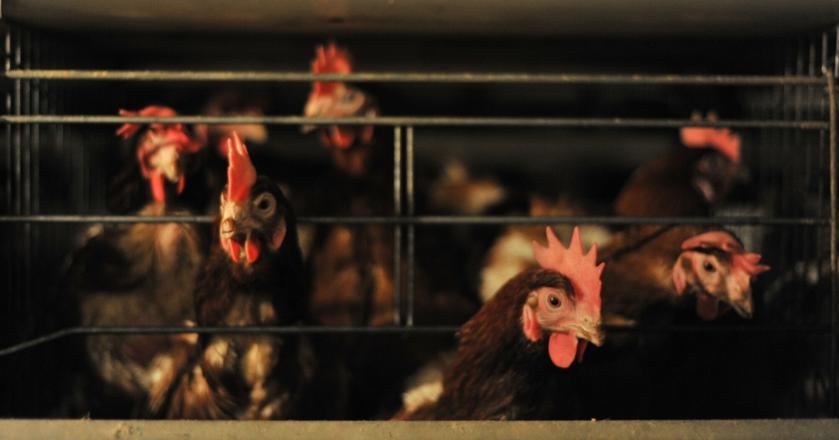 Fipronil to środek owadobójczy stosowany między innymi w weterynarii przy zwalczaniu pcheł i kleszczy, pasożytujących na zwierzętach. Unijne przepisy zabraniają jednak stosowania go wobec zwierząt hodowanych w celach konsumpcyjnych.