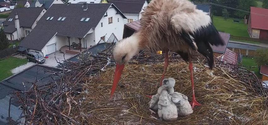 Dramat bocianiej rodziny. To zdjęcie obiegło świat