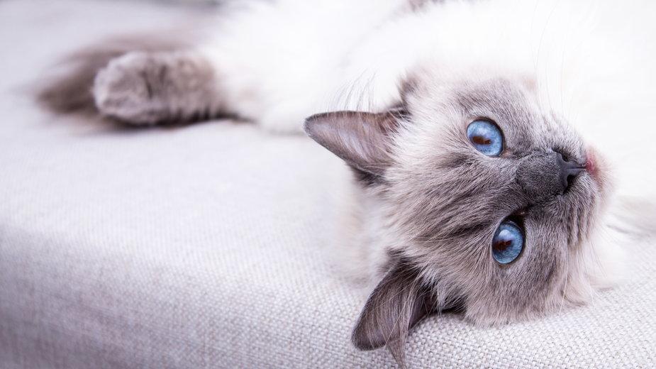 Ragdoll to kot o wyjątkowym wyglądzie - Daniel Krasoń/stock.adobe.com