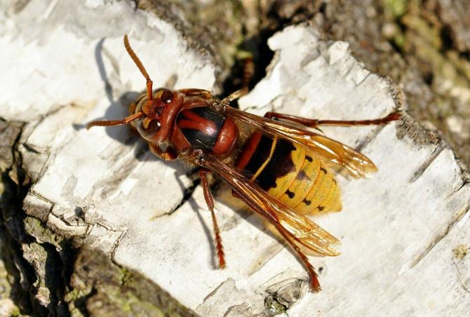 Oprez, ubod ovog insekta nije bezopasan!