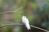 bele životinje kolibri