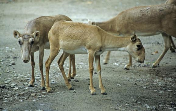 Ova vrsta antilopa poznata je po neobičnoj njušci