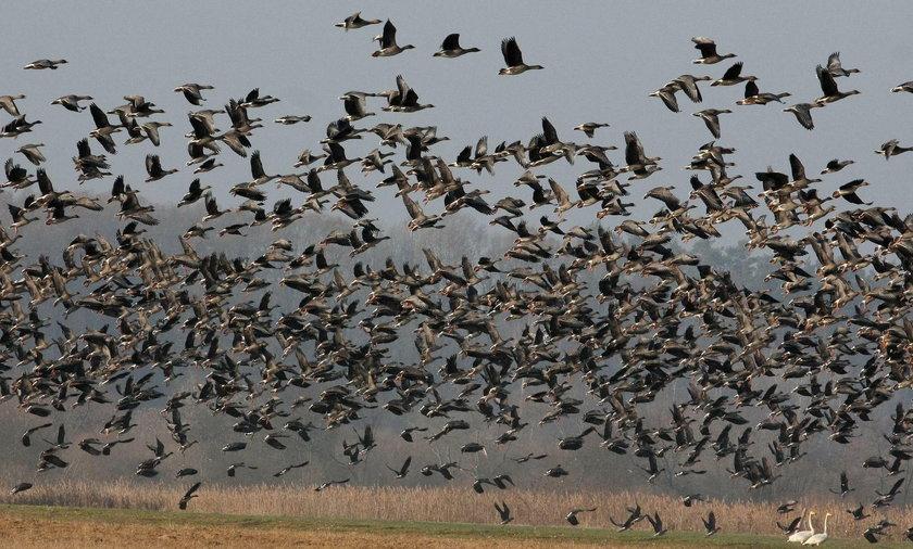 Polska w niebezpieczeństwie? Do kraju lecą tysiące zakażonych ptaków