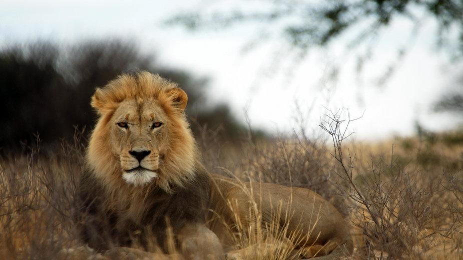 Lwy z RPA zostaną uwolnione