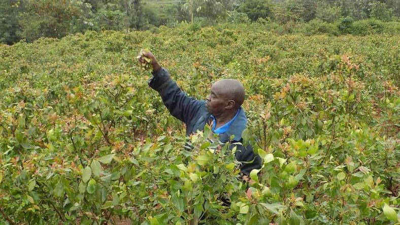 A muguka  farmer in Kenya. (The Standard)