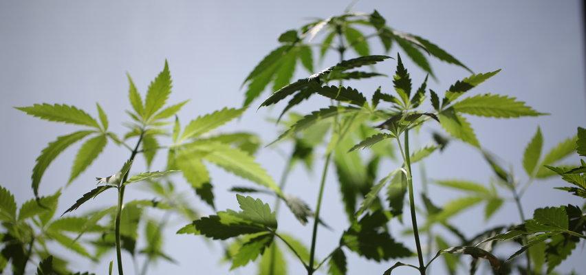 W tym państwie europejskim marihuana będzie legalna!