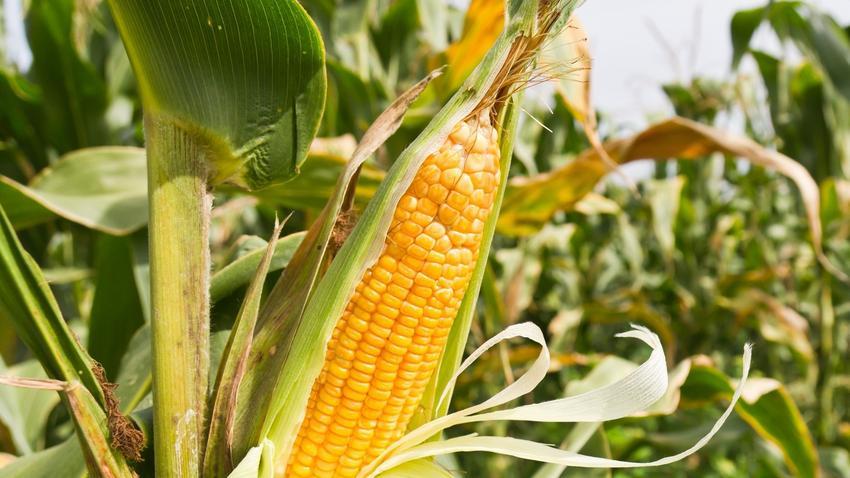 Czy Kukurydza W Kolbach Jest Szkodliwa Czy Mozna Jeść