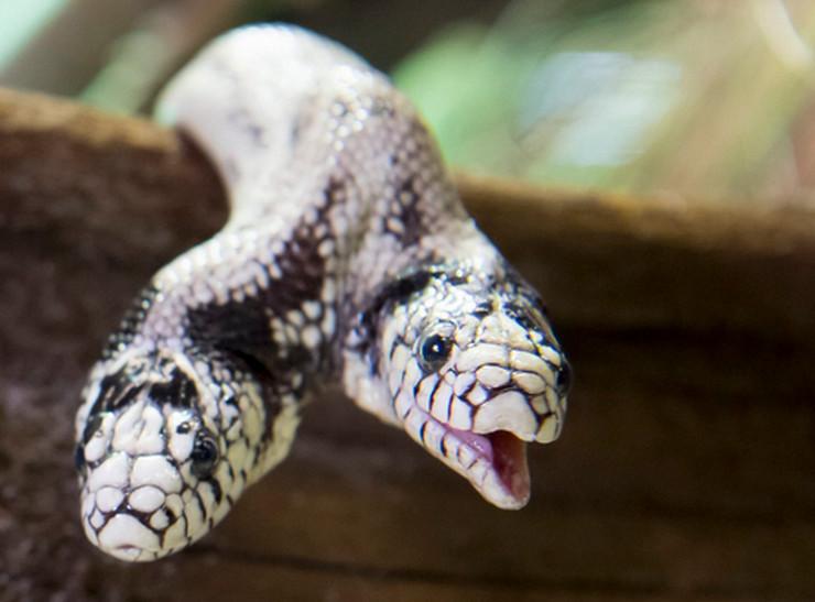 dvoglava zmija