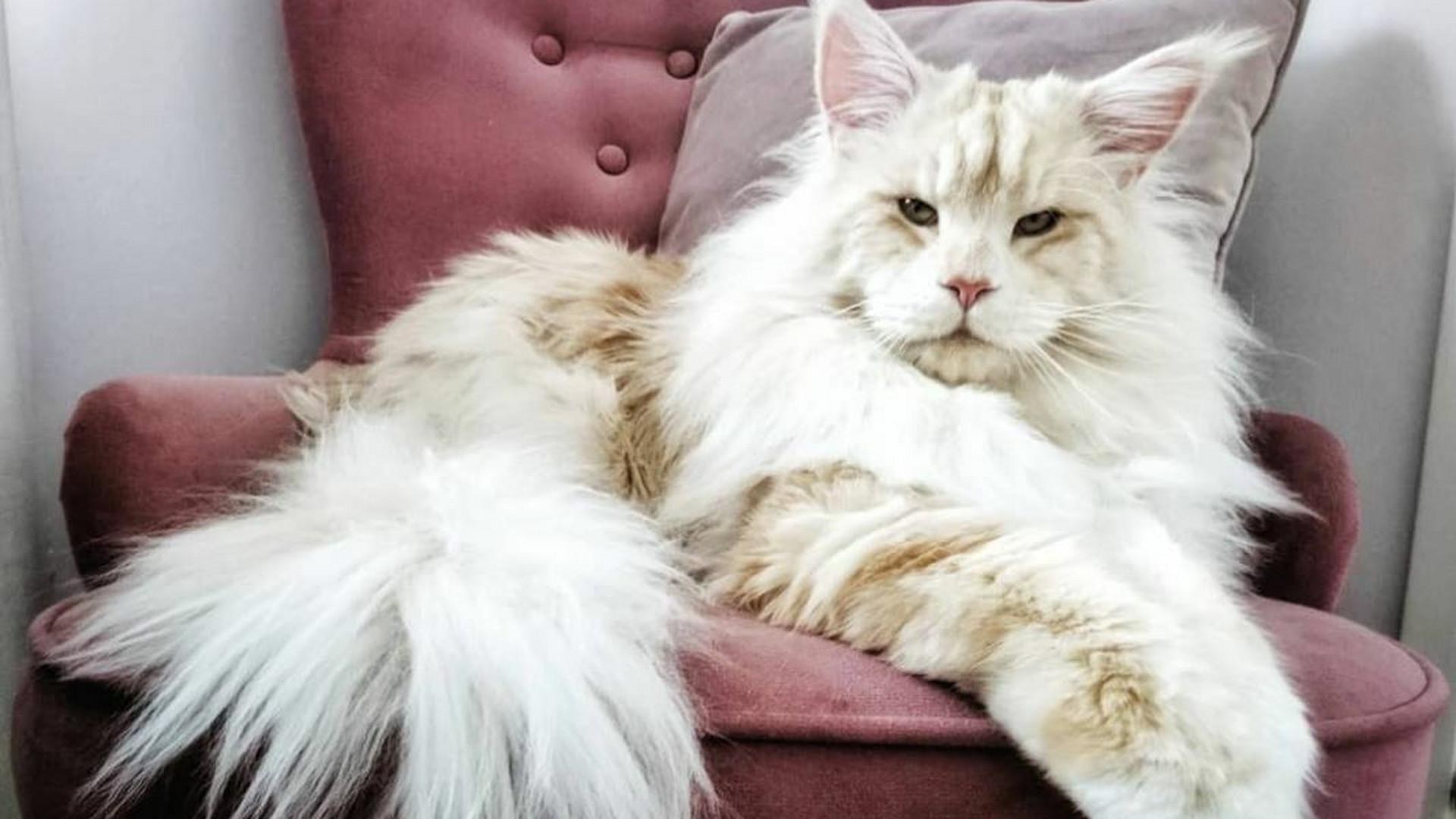 49888cb1f5 Nem a méret a lényeg? Ennek az óriás cicának a tulajával vitatkozhatnánk  erről... - FOTÓK