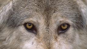 Olsztyn: rośnie liczba wilków