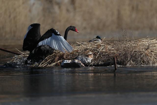 Divlji labudovi u Pekingu