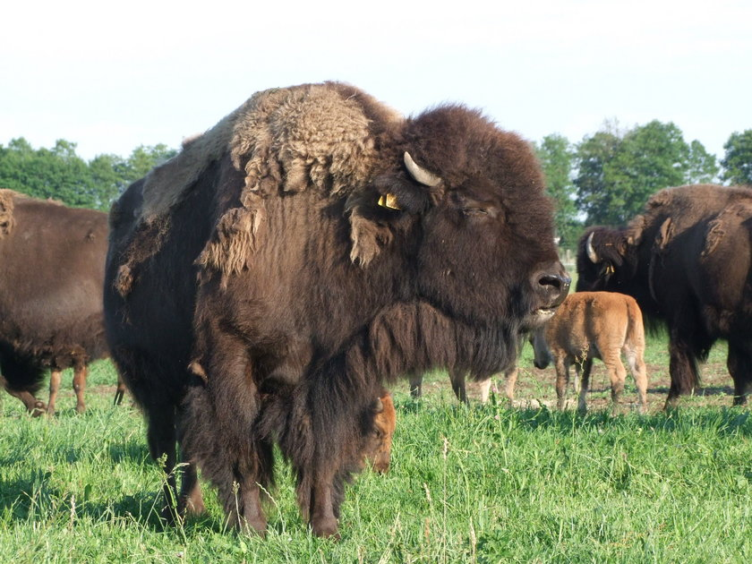 Hodowla bizonów