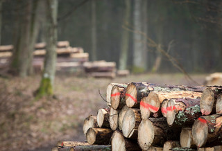 Morawiecki: W sprawie Puszczy Białowieskiej postąpimy zgodnie z wyrokiem TSUE
