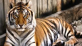 """Miał spędzić pół roku w więzieniu przez """"seks z tygrysem"""". Wyszedł na wolność: zwierzę okazało się przebranym człowiekiem"""