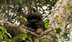 Ova vrsta majmuna poslednji put viđena je pre 80 GODINA. I sada PONOVO (VIDEO)