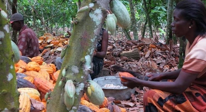 Farmers break cocoa pods in Ghana's eastern cocoa town of Akim Akooko