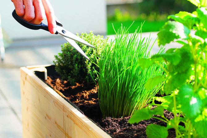 Gajenje začinskog bilja u saksijama nije zahtevno