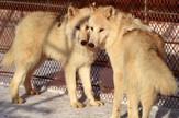 Polarni vukovi Beogradski zoološki vrt