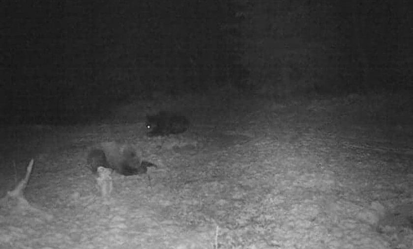 Niedźwiedzie przyłapane w lesie.