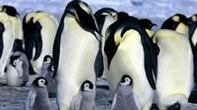 """""""Marsz pingwinów"""" podbija Amerykę"""