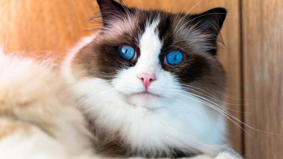 Ragdoll to kot o wyjątkowej urodzie - Arjun/stock.adobe.com