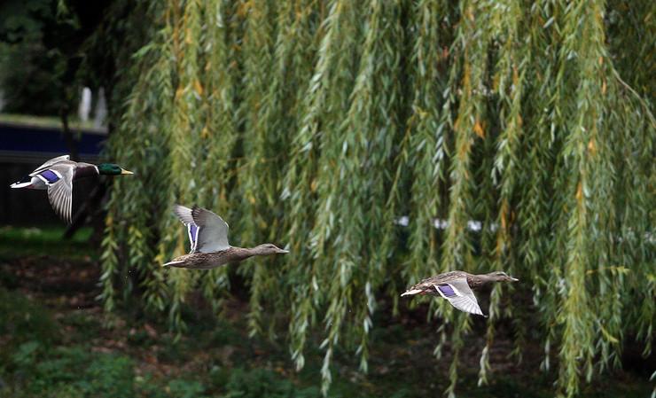patke kod Kastela