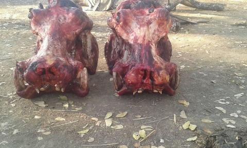 The controversial hunt has been approved again by Zambia's Department of National Parks and Wildlife (DNPW).