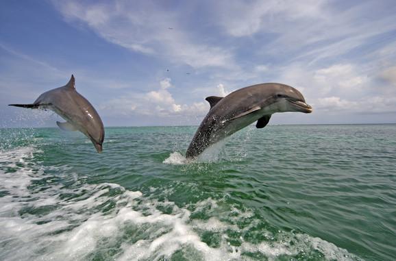 Studije su otkrile i drugu, tamnu stranu delfina, onu koja do sada nije toliko isticana
