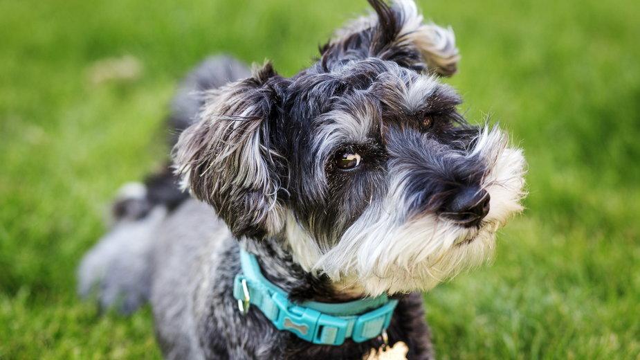 Sznaucer miniatura to doskonały pies rodzinny -  Kieran/stock.adobe.com
