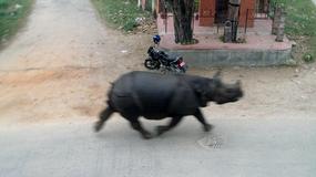 Nosorożec zaatakował mieszkańców małego miasteczka w Nepalu
