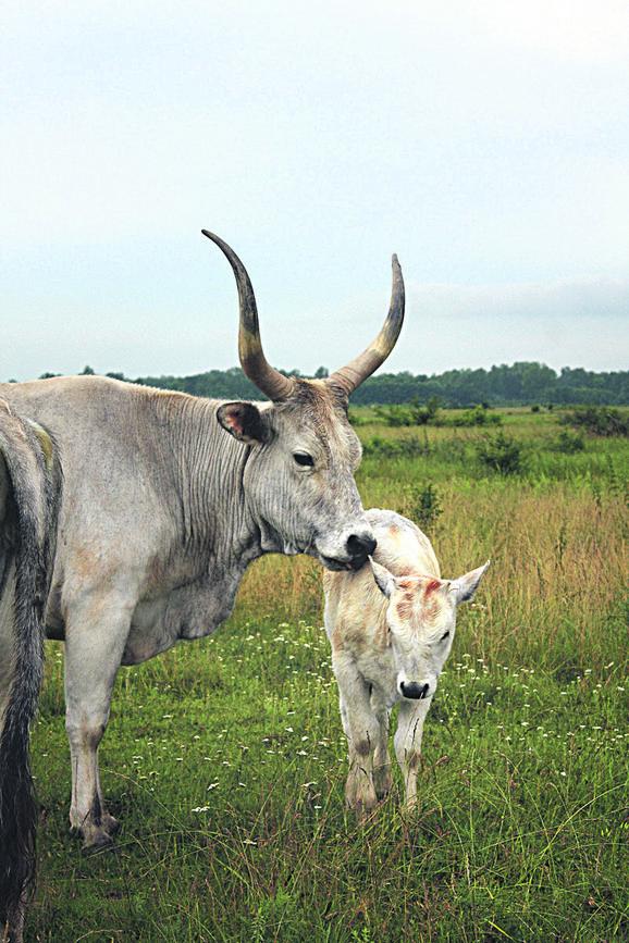 Godišnje kroz Zasavicu prođe 40.000 posetilaca, koji uživaju posmatrajući prirodu i životinje koje slobodno šetaju