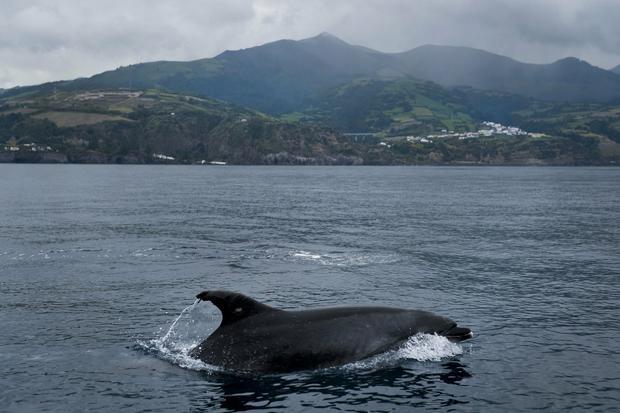 Delfin przy brzegu wyspy Sao Miguel na Azorach