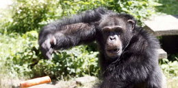 Szympans dostał etat urzędnika